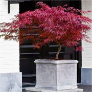 Acer palmatum dissectum Firecracker - Japanese Maple