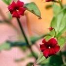 Jasminum beesianum - Rare Red Jasmine