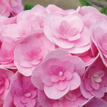 Hydrangea Love - Beautiful Double Flowered Pink Hydrangea