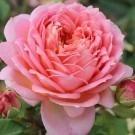 Rose Jubilee Celebration ® - David Austin ® Shrub Rose