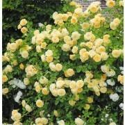 Rose Gardeners Glory - Climbing Rose