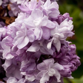 Syringa vulgaris  Katherine Havemeyer - Lilac