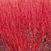 Cornus alba Sibirica - Red barked dog wood