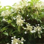 Hydrangea Seemanii (Evergreen Climbing Hydrangea)