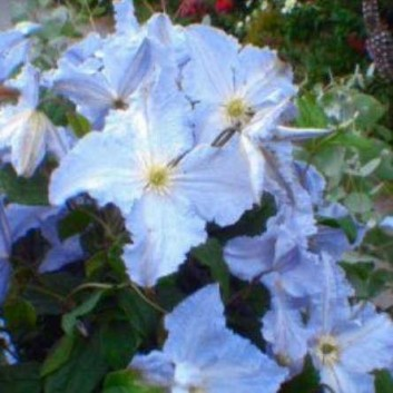 Clematis Blue Angel