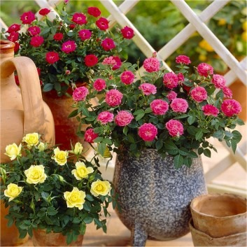 SPECIAL DEAL - Old English Style Patio Roses Collection - Pack of SIX Plants