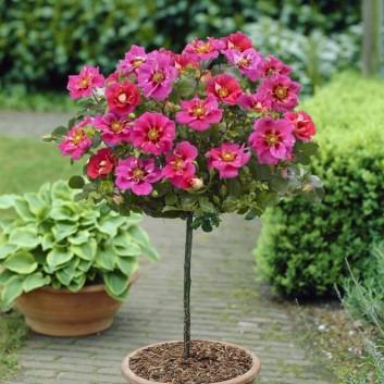 Pair of Standard Rose Trees - Babylon Eyes QUEEN