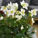 Helleborus niger - White Hellebore in Bud