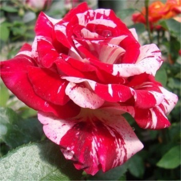 Rose Rock and Roll - Floribunda Rose