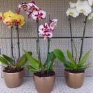 SPECIAL Luxury Phalaenopsis - Pack of THREE Moth Orchids with Gold Pots in Assorted Colours