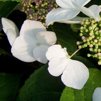 Hydrangea macrophylla 'Soraya' DUTCH LADIES