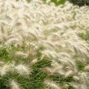Pennisetum alopecuroides 'Hameln' - Fountain Grass