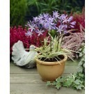 Agapanthus Tinkerbell - Variegated Nile Lily
