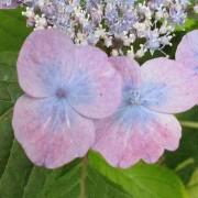 Hydrangea serrata Veerle - Hardy Japanese Lacecap Hydrangea