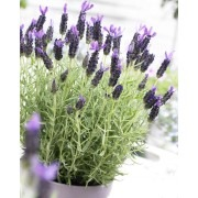 French Lavender - Lavender stoechas Midnight Purple - Pack of SIX Large Plants