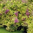 Spirea Golden Princess - Gold Foliage Spiraea