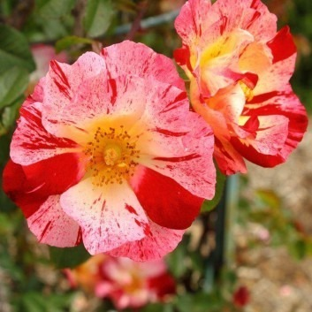 Rose Crazy for You - Floribunda Bush Rose