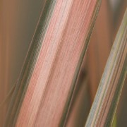 Phormium Pink Panther - New Zealand Flax