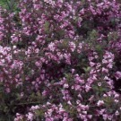 Weigela florida Foliis Purpureis