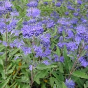Caryopteris × clandonensis 'Heavenly Blue' - Pack of THREE Plants