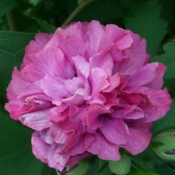 Hibiscus Duc de Brabant - Double Flowered