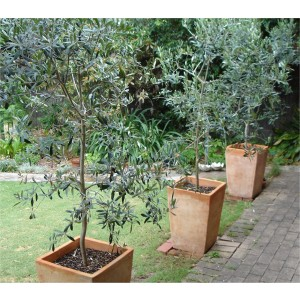 Olea Europa - Large Mediteranean Olive Tree - circa 140cms Tall
