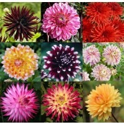 SPECIAL DEAL - Premium varieties Dahlia Collection - Breeders Special Mix - Pack of TEN