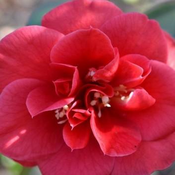 Camellia japonica Saturnia