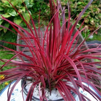Pennisetum setaceum 'Fireworks' - Multi-colour Fountain Grass - Pack of THREE Plants