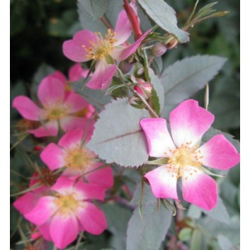 Rosa Glauca rubrifolia - Climbing Rose - Red Leaved Rose