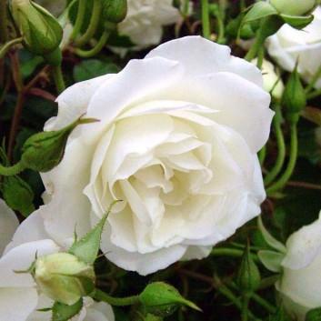 Rose Iceberg - Floribunda Rose