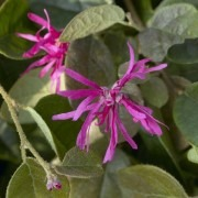 Loropetalum chinensis Daybreaks Flame - Chinese Fringe Bush