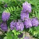 Wisteria Amethyst Falls in Bloom