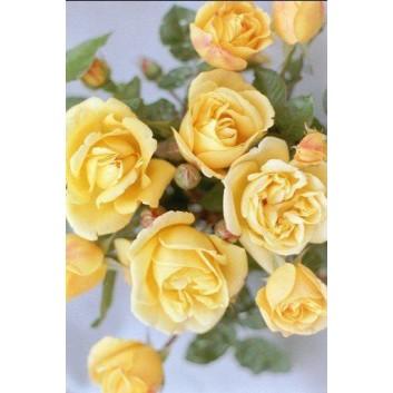 Rose Dreaming Spires - Climbing Rose