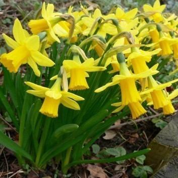 Tete a Tete Dwarf Daffodils in Bud