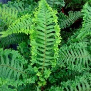 Dryopteris affinis 'Cristata The King' - Golden Male Fern