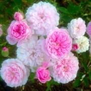 Rose Cecile Brunner - Climbing Rose