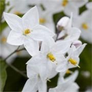 Solanum jasminum Album - Evergreen Climber