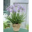 Agapanthus 'Peter Pan' - Nile Lily