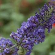 Buddleia Flutterby Free Petite Blue Heaven - Dwarf Buddleja Butterfly Bush