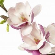 Magnolia Satisfaction - Large Flowered Tulip Tree
