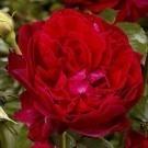 Rose L. D. Braithwaite ® David Austin ® Old English Shrub Rose