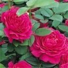 Rose Noble Antony ® - David Austin ® Shrub Rose