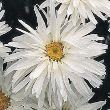 Leucanthemum x superbum Crazy Daisy - Shasta Daisy