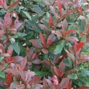 Photinia ''Little Red Robin'' - Compact Evergreen Shrub - Pack of THREE Plants