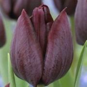 Tulipa Ronaldo - Maroon Purple Tulips