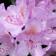 Rhododendron Gold Finger - Variegated Evergreen Rhododendron