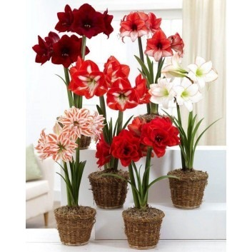 Potted Amaryllis - *SPECIAL DEAL* - Pack of 3 Assorted varieties - Ideal Home Decor