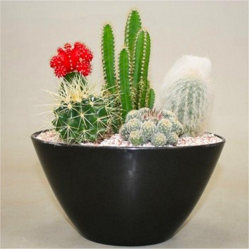 Cacti - Contemporary Cactus Garden Arrangement - Perfect Gift - Ideal for Coffee Table or Windowsill