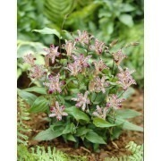 Tricyrtis Empress - Japanese Toad Lily